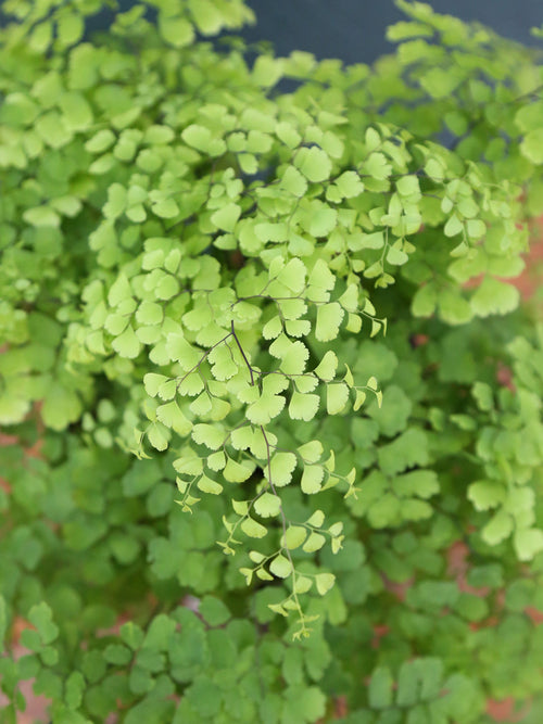 Maidenhair Fern 6""