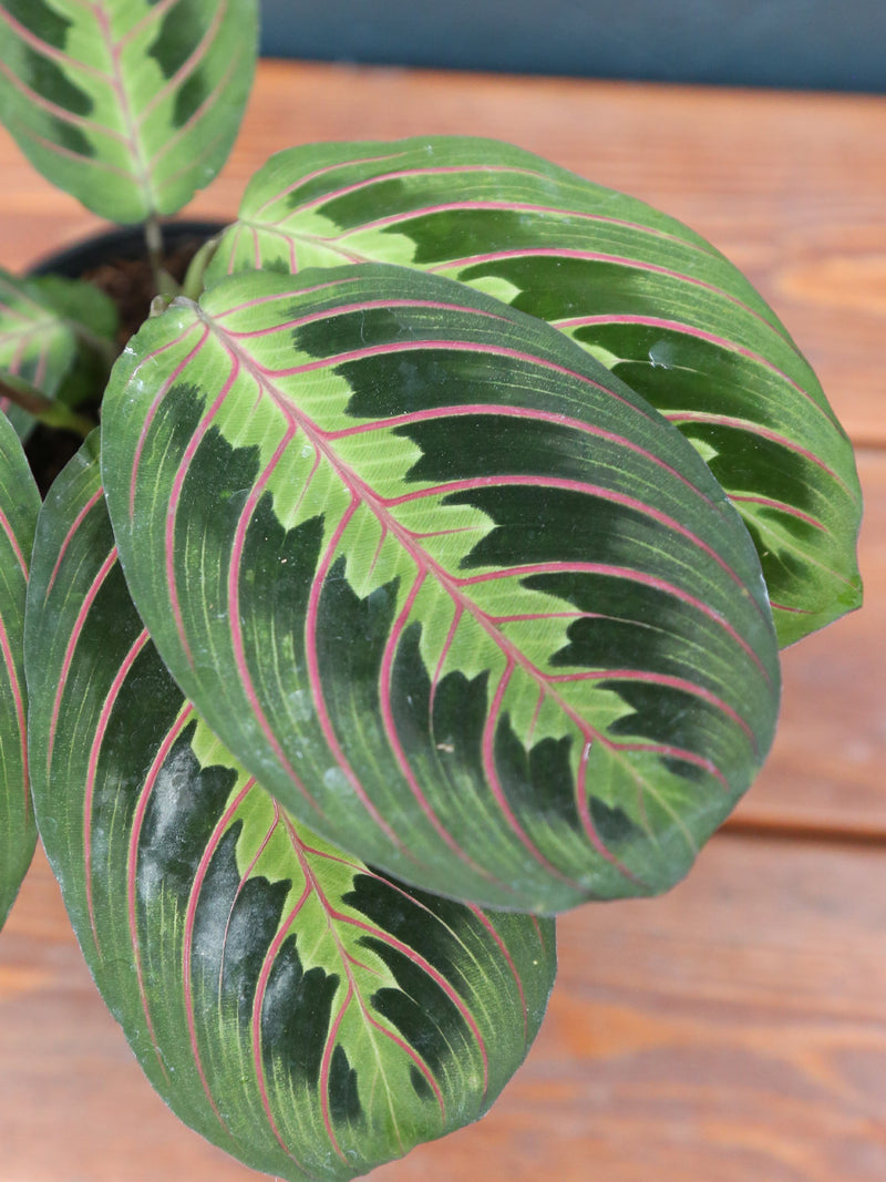Maranta Prayer Plant Red 4""