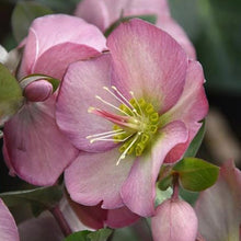 Load image into Gallery viewer, HELLEBORE PENNY'S PINK 1G