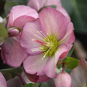 HELLEBORE PENNY'S PINK 1G