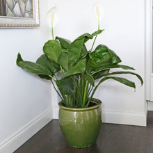 Load image into Gallery viewer, PEACE LILY 10""