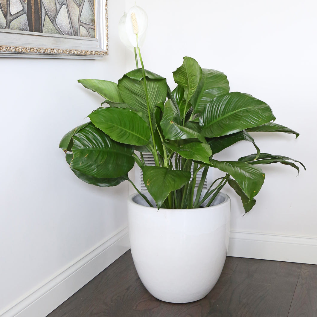 PEACE LILY 10