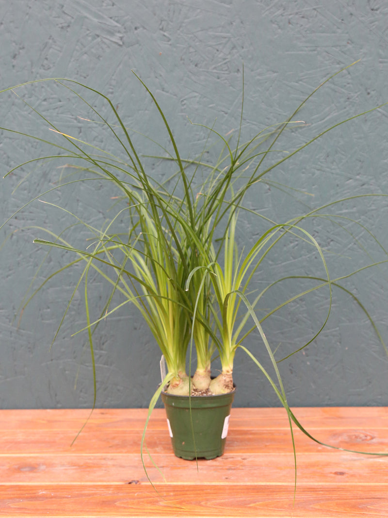 Ponytail Palm Beucarnea