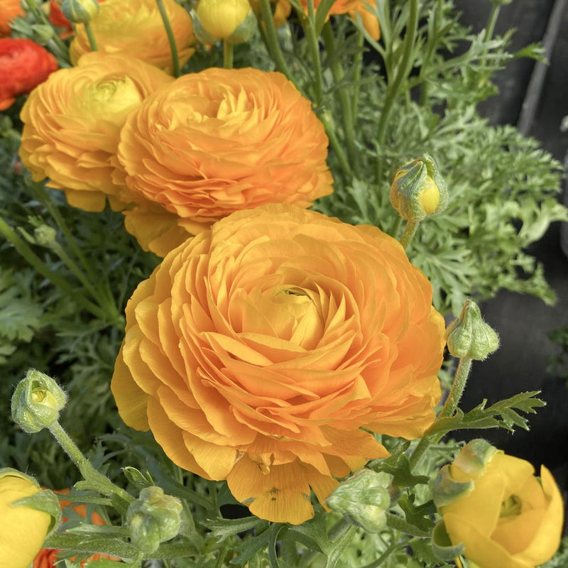 Ranunculus Yellow 4""