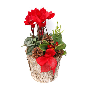 RED CYCLAMEN PLANTER