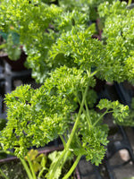 Parsley Curly Leaf 4""