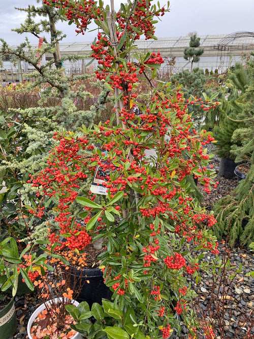 Victory Pyracantha 5G