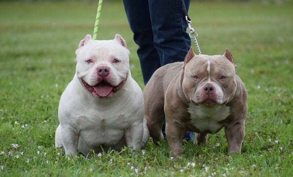 TOP POCKET BULLIES LOUIS V LINE'S VENOM & OMEGA MEET-Venomline South