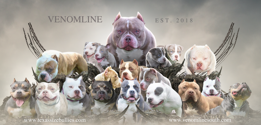 LOUIS V LINE'S VENOM MEETS MAGOO & LUCKY LUCIANO   PUPPIES