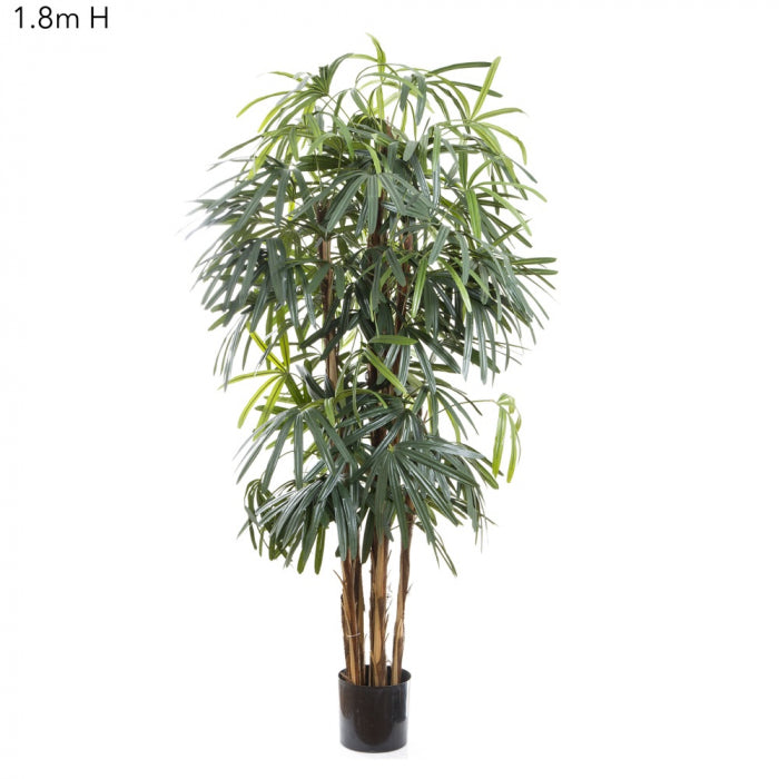 Raphis Palm (Thin Leaf) 1.8m