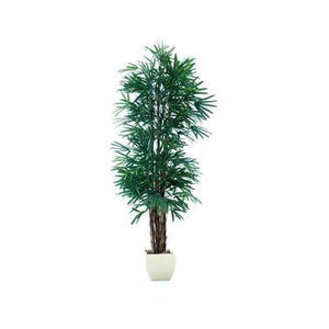 Raphis Palm (Thin Leaf) 2.4m