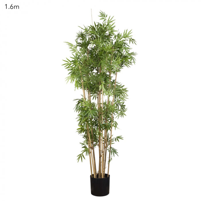 Japanese Bamboo Tree 1.6m