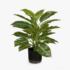 4 x Evergreen in Pot