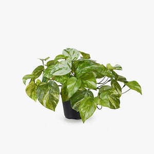 6 x Pothos Marble in Pot