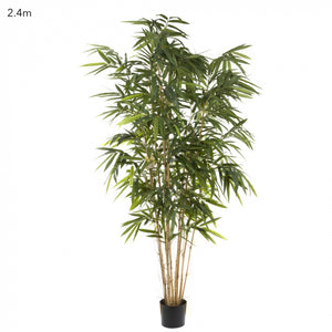 Giant Bamboo Tree 2.4m