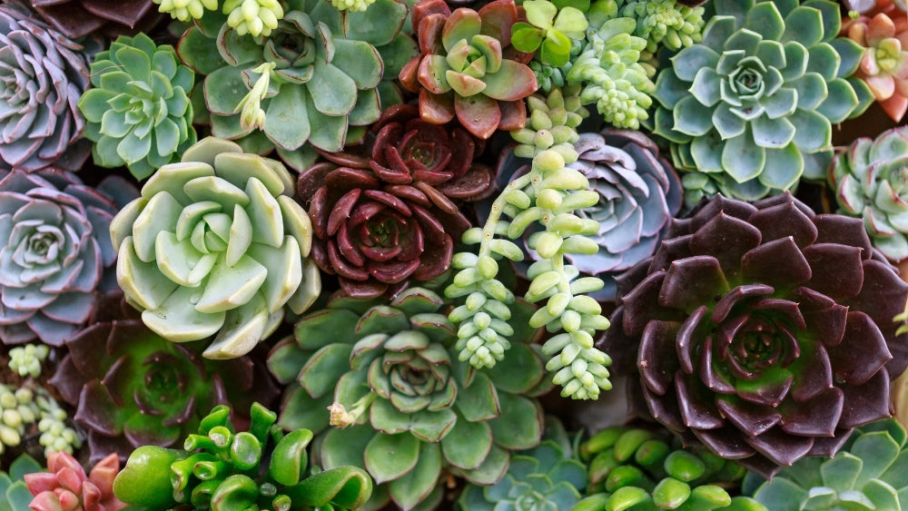 Succulents in different colors