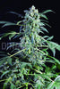 Amnesia Original Automatic Weed Seeds