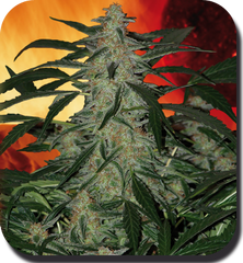 Deimos Automatic Weed Seeds