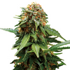 Tangerine Dream Weed Seeds