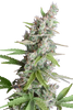 AK Automatic Weed Seeds