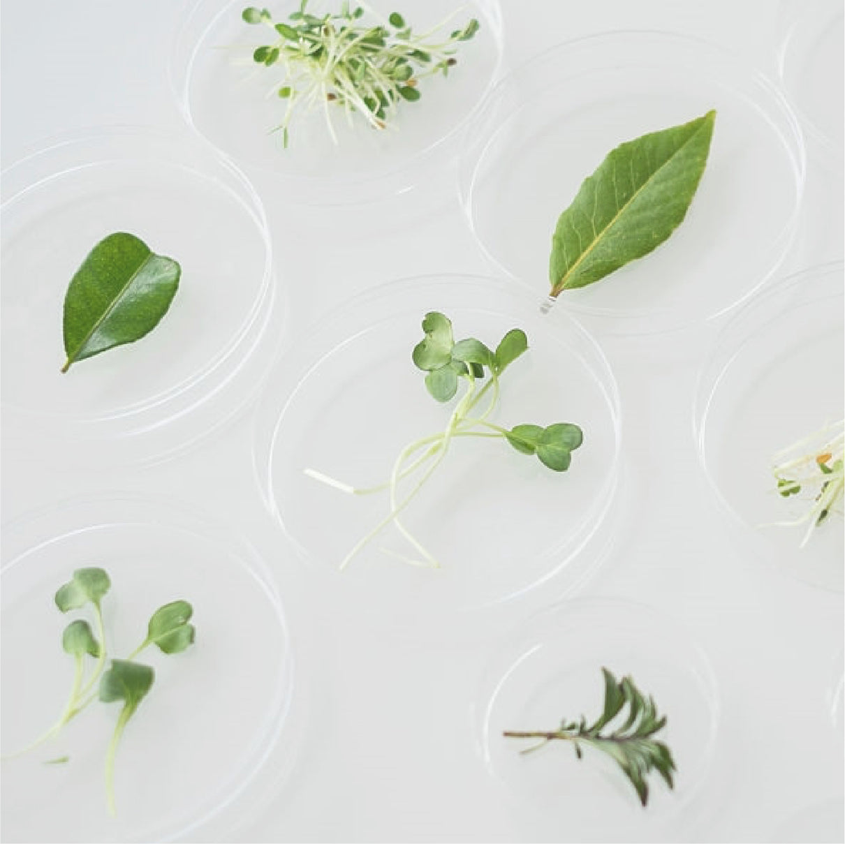 Photo of plant parts in petri dishes