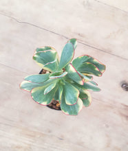 Load image into Gallery viewer, Crassula Bluebird Variegated