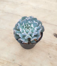 Load image into Gallery viewer, Echeveria Pinwheel Revolution