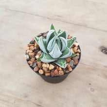Load image into Gallery viewer, Haworthia Emperor