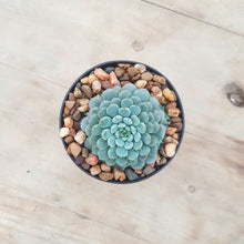 Load image into Gallery viewer, Echeveria minima