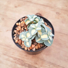 Load image into Gallery viewer, Sedum seiboldii variegated