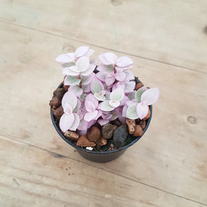 Callisia repens Pink Lady