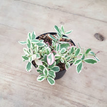 Load image into Gallery viewer, Portulaca Variegated