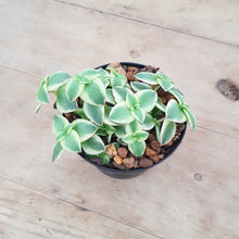 Load image into Gallery viewer, Crassula Calico Kitten