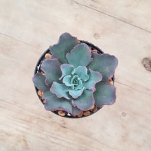 Load image into Gallery viewer, Echeveria Blue Curls