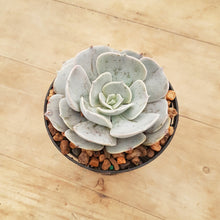 Load image into Gallery viewer, Echeveria Pollux