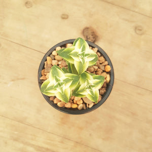 Crassula perforata Southern Cross White