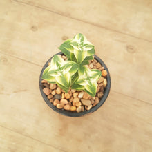 Load image into Gallery viewer, Crassula perforata Southern Cross White