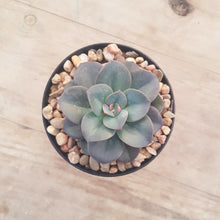 Load image into Gallery viewer, Echeveria Chroma