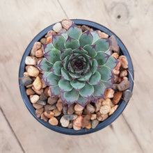 Load image into Gallery viewer, Sempervivum Cafe