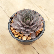 Load image into Gallery viewer, Sempervivum Pink Surprise