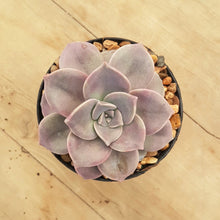 Load image into Gallery viewer, Graptopetalum Purple Delight