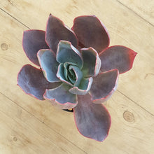Load image into Gallery viewer, Echeveria Afterglow