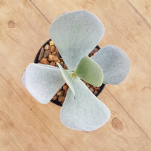 Load image into Gallery viewer, Cotyledon orbiculata White