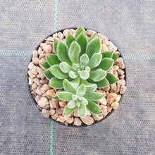 Load image into Gallery viewer, Echeveria Set Oliver
