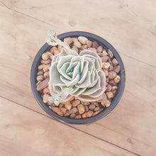 Load image into Gallery viewer, Graptoveria Lovely Rose