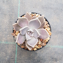 Load image into Gallery viewer, Graptopetalum paraquayense