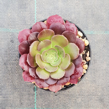 Load image into Gallery viewer, Aeonium Blushing Beauty