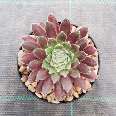Sempervivum Raspberry Ice