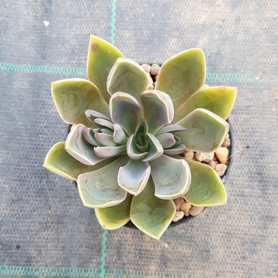 Graptoveria Jules