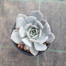 Load image into Gallery viewer, Echeveria Marzipan